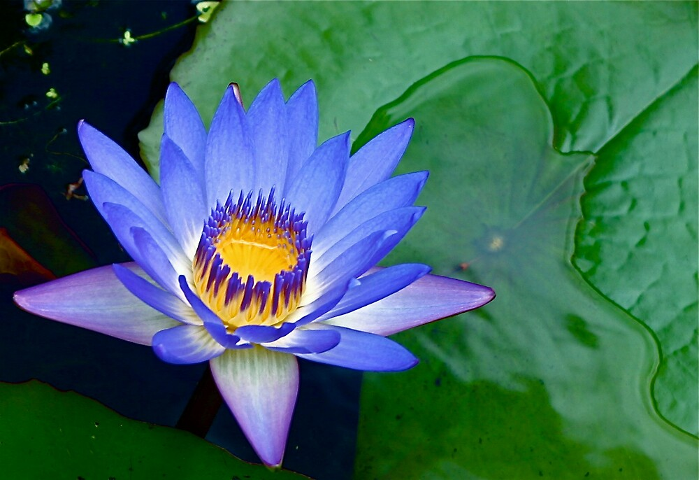 Pink Blue Lily by JenniferW