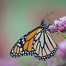 Monarch 2017-4 by Thomas Young