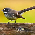 Grey Fantail by Peter Krause