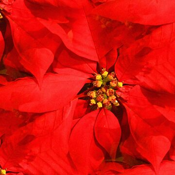 Red Poinsettias by lillianhibiscus
