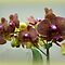 *Avatar - Orchids - Enchanted Flowers*