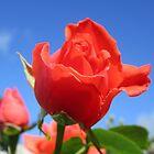 A June Rose In My Garden by lezvee