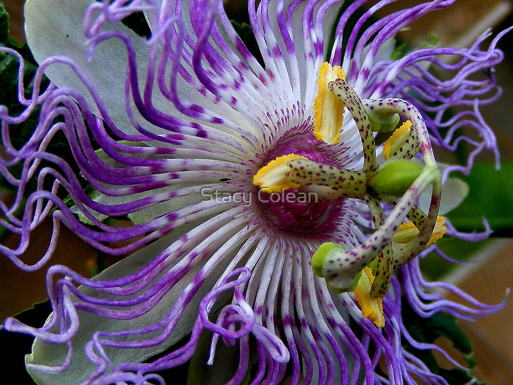 MayPop Flower by Stacy Colean