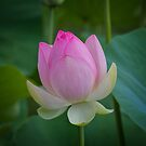 The Water Lily by Ali Brown