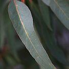 Beautiful Australian Native Eucalyptus Leaves by Joy Watson