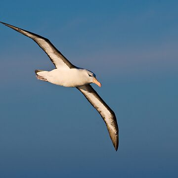 Black browed Albatross by w1ldsnaps