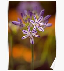 The Calycanthus ran off leaving the Agapanthus to fend for herself. Poster