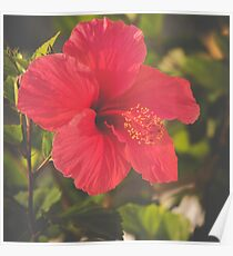 Red Hibiscus Close-up Poster