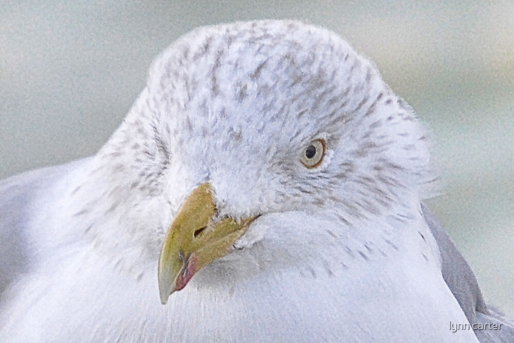 Herring Gull by lynn carter
