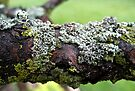 Lichens on a Branch by lindsycarranza