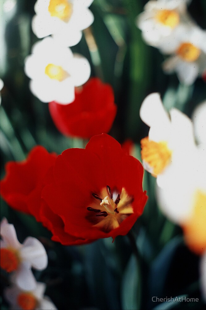Red Tulips by CherishAtHome