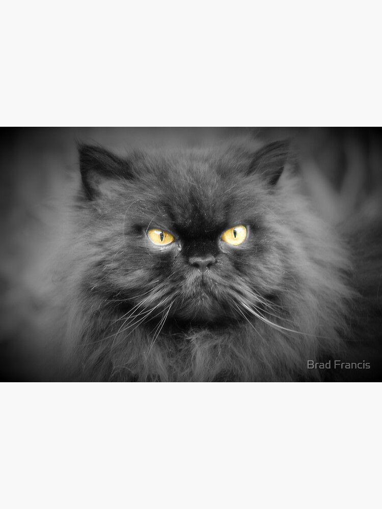 Persian cat by bfra