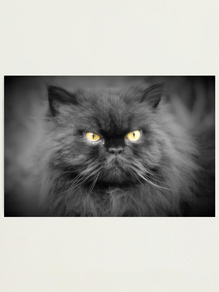 Alternate view of Persian cat Photographic Print