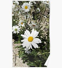 A  camomile flower close-up on a background of flowers and grass Poster