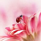 Ladybird on Gerbera by Ellen van Deelen