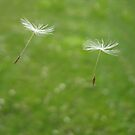 Floating Dandelion Seedlings by lindsycarranza