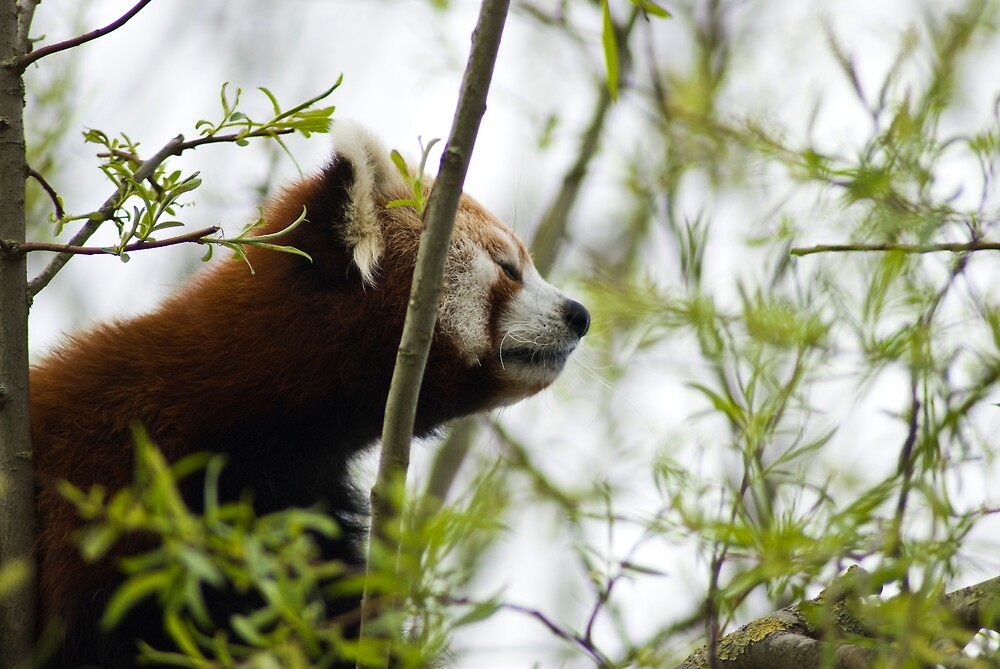 Peaceful Red Panda  by Samantha Coe