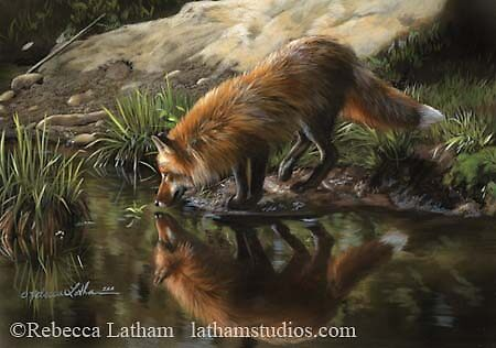 Quot Beside Still Waters Red Fox Quot By Rebecca Latham Redbubble