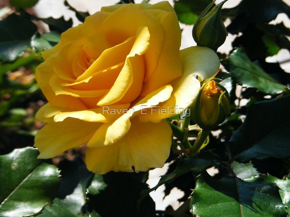 Yellow Rose by Raven Fielding