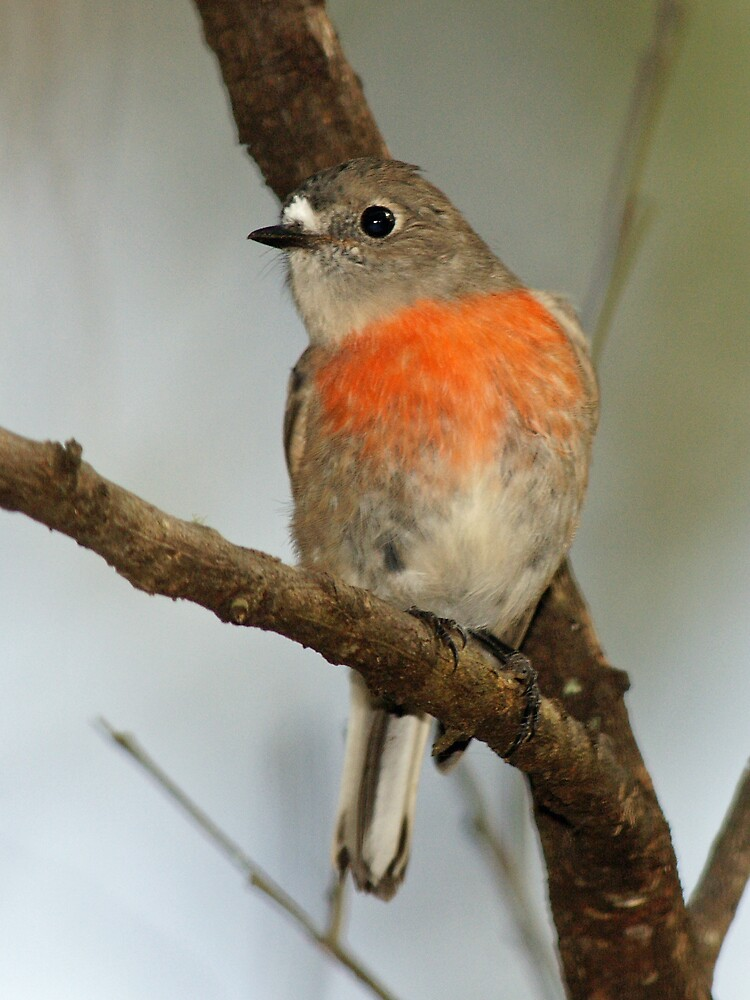 Scarlet Robin (female) by David Cook