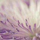 Purple Spider Mum Macro by Sandra Foster