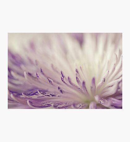 Purple Spider Mum Macro Photographic Print