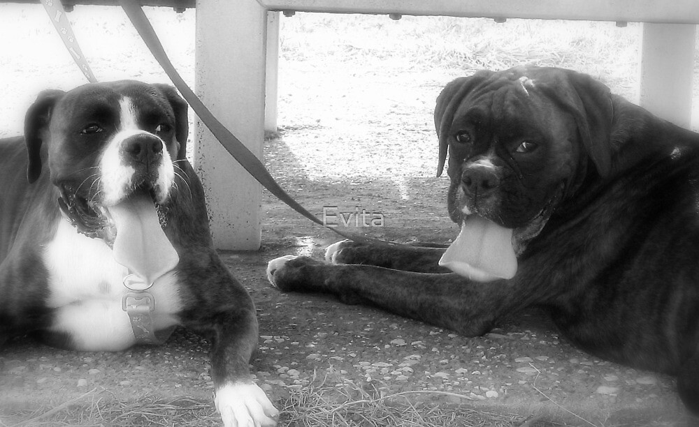 Tongues.......  -Boxer Dogs Series- by Evita