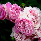 Pink Peonies by Shulie1