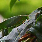 Gum Leaf Katydid (Torbia viridissima) von Evita