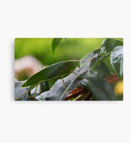 Gum Leaf Katydid (Torbia viridissima) Metalldruck