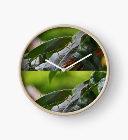 Gum Leaf Katydid (Torbia viridissima) Uhr