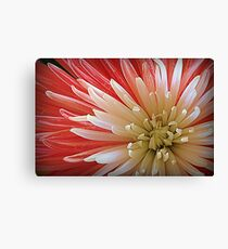 Quill Chrysanthemum, White and Pink, Macro Photograph Canvas Print