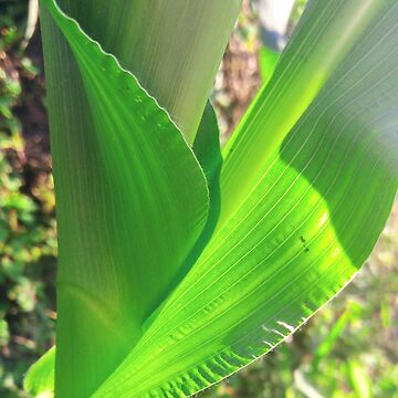 Suburban Corn by DaleyBlooms