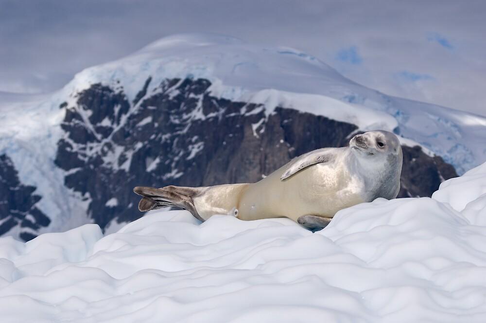 Crabeater Seal, Antarcitca by Simon Coates