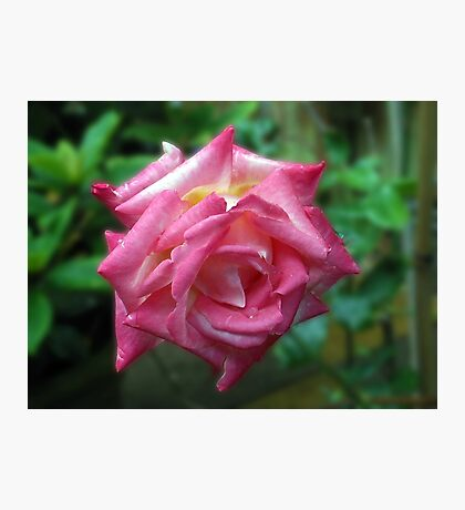 Shades Of Pink - Rose After Rain Photographic Print