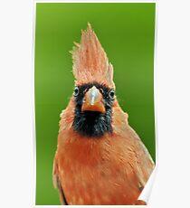 Cardinalis Poster