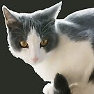 A Max And Mantle Bi Colour Cat Isolated by taiche