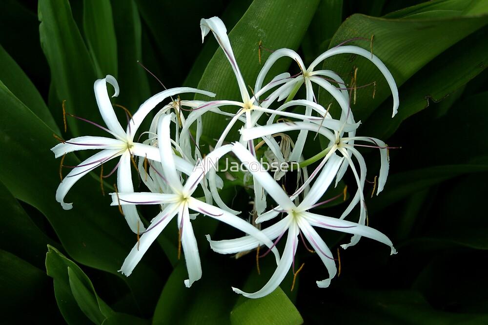Bahama Flower by ANJacobsen