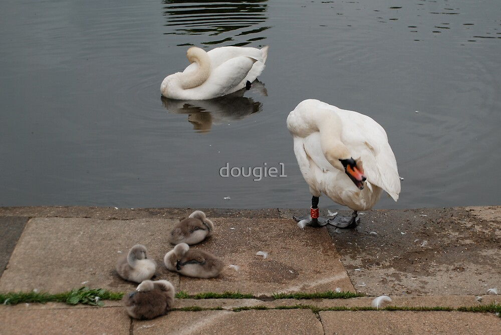 Swans by dougie1