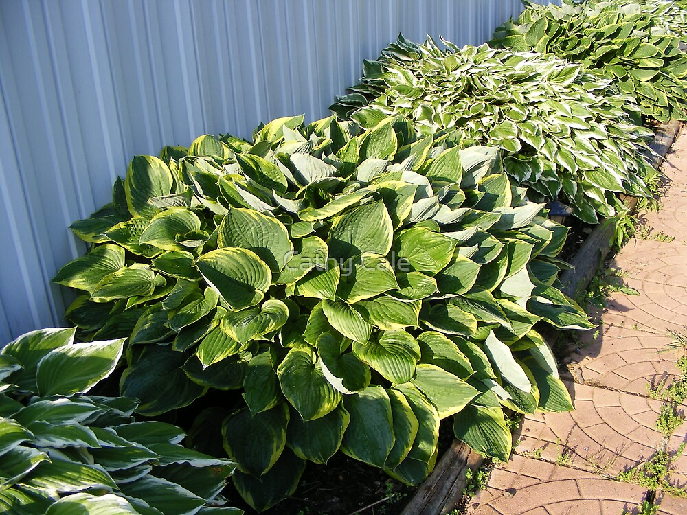HOSTAS by Cathy Cale