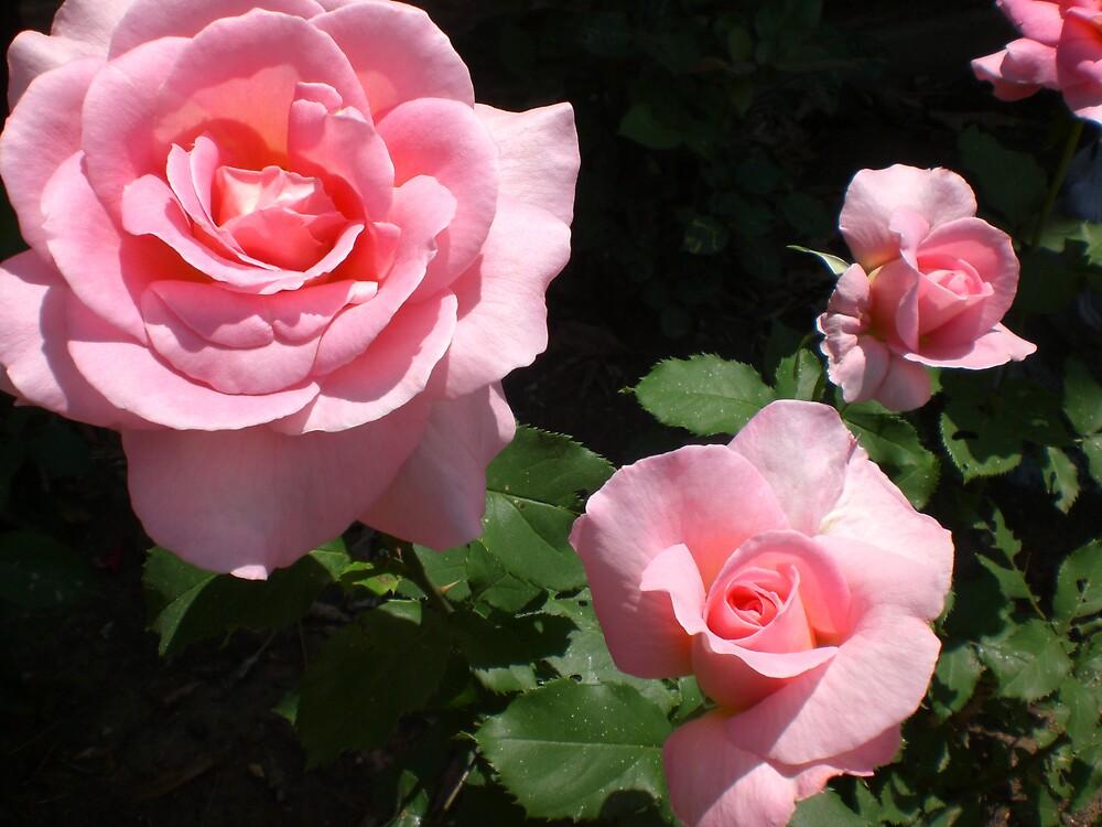 Rose Series #15 by Ellaine Walker
