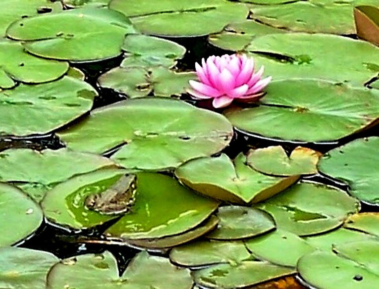 Frog in the Lily Pond by Judi Taylor