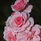 Beautiful Pink Rose Display by Joy Watson