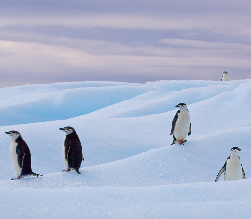 Chinstrap Penguins. by Simon Coates