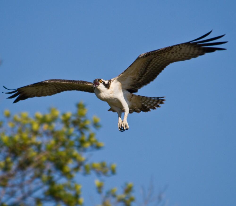 Osprey in Flight. by Simon Coates