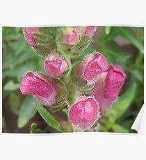 Antirrhinum Buds Poster