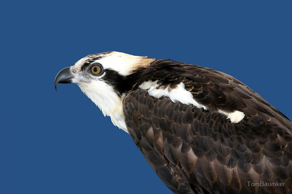 OSPREY CLOSE UP by TomBaumker