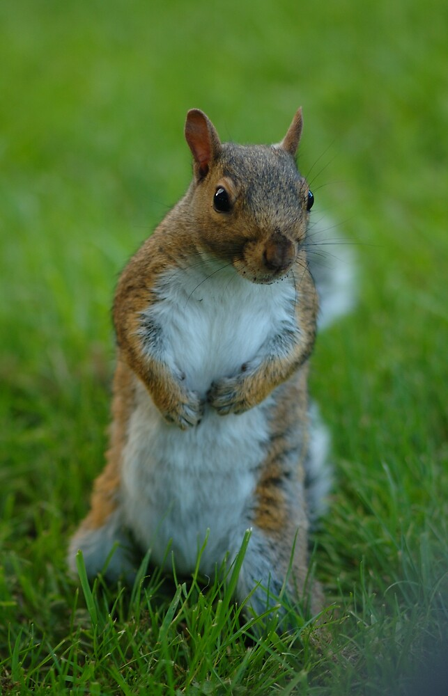 Squirrel Standing His Ground ! by Charles Howarth