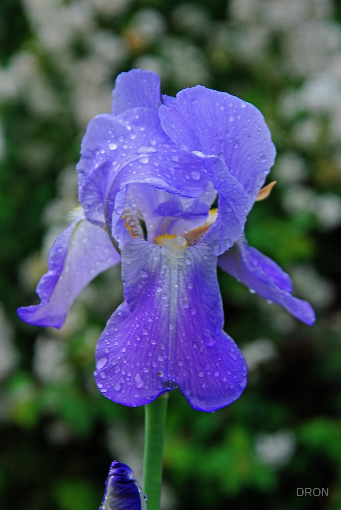 AN IRIS AFTER THE RAIN by DRON