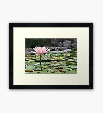 Beautiful Pink Water Lilly Framed Print